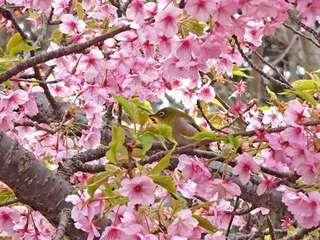1s-河津桜にメジロ01728.jpg
