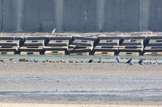 2s-干潟のカモたち2A9150.jpg