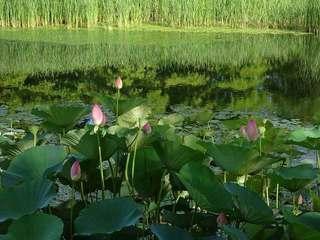 3s-運河のハスの花05892.jpg