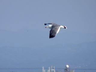 4s-ウミネコ飛翔03208.jpg