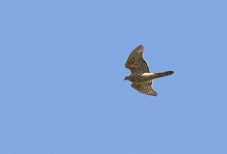 8s-オオタカ幼鳥A1990.jpg