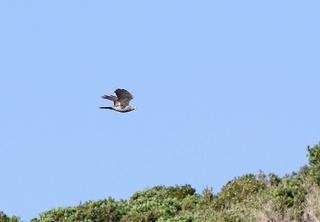 9s-アカハラダカ幼鳥SPA1866.jpg