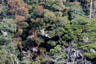 s-9_ヨシガモ群飛翔A2664.jpg